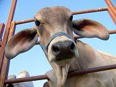 foto of brahma-bull  - Sitting below baby brahma came over to say hello peeking his head through rails - JPG