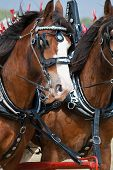 stock photo of clydesdale  - Two Clydesdale horses galloping alongside each other - JPG
