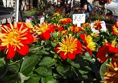 Dahlias For Sale