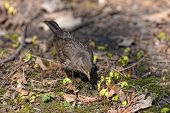 stock photo of brown thrush  - thrush looking for food in the spring grass - JPG