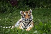 stock photo of tiger cub  - Young Siberian Tiger Cub laying in the grass - JPG