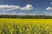 Blooming rapeseed field with blue and cloudy sky