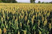 stock photo of sorghum  - Millet plant in the field - JPG