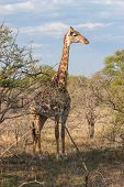 Wild Reticulated Giraffe  And African Landscape In National Kruger Park In Uar,natural Themed Collec