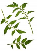 image of tomato plant  - Tomato vegetable leaf pattern detail on white - JPG