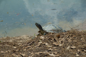 stock photo of cooter  - Turtle  - JPG
