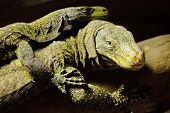 picture of giant lizard  - picture of two big yellow lizards on a tree - JPG