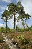 stock photo of pinus  - Dry Heathland with Scots Pines Trees - Pinus sylvestris Thursley Common NNR Surrey