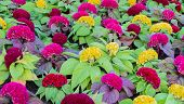 picture of cockscomb  - Colorful Cockscomb Flower Or Celosia Cristata Field - JPG