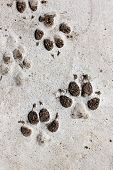 foto of dog footprint  - footprints of dog on the cement floor.