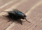 stock photo of blowfly  - Common blue blow - JPG