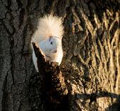 picture of albinos  - Rare white squirrel in a tree in the city park in Olney Illinois one of the few places were a large number of them exist - JPG