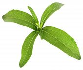pic of substitutes  - Stevia rebaudiana sweet leaf sugar substitute on white background - JPG