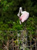 picture of sun perch  - A roseate spoonbill preens its feathers while perching on a fence in the Florida sun. ** Note: Soft Focus at 100%, best at smaller sizes - JPG