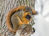 image of walnut-tree  - A fox squirrel perched in a tree nibbles on a walnut in a snowy landscape - JPG