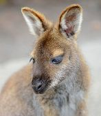 stock photo of wallabies  - Kangaroo  - JPG
