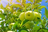 foto of fall day  - Fresh green apple tree background - JPG