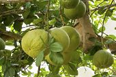 image of pomelo  - Green fresh pomelo fruit growing on tree - JPG