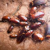 pic of cockroach  - Lot Of Cockroach Hanging On Stone Wall - JPG