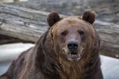 picture of predator  - Sneer grimace on the face of a brown bear female portrait of the most mighty beast of the world - JPG