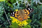 picture of cosmopolitan  - butterfly Painted Lady or Cosmopolitan in Poland - JPG