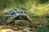 pic of testudo  - photo of the young turtles from the wild nature - JPG