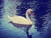 image of water bird  - Mute swan - JPG