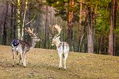 stock photo of deer horn  - Two male deer in the wild - JPG