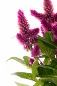stock photo of spiky plants  - Cockscomb celosia spicata plant on a white background - JPG