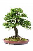picture of bonsai  - Bonsai pine tree against a white wall - JPG