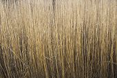 picture of australie  - Thick stand of Common Reed  - JPG