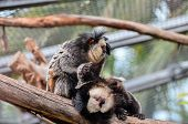 pic of marmosets  - Callithrix Geoffroyi Small Black and White Monkey - JPG