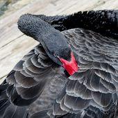 foto of black swan  - Close up Portrait of a black swan with red beak - JPG