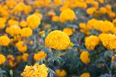 picture of marigold  - Marigolds (Tagetes erecta, Mexican marigold, Aztec marigold, African marigold)