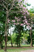 pic of trumpet flower  - Flower of pink trumpet tree falling on ground - JPG