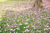 stock photo of trumpet flower  - Flower of pink trumpet tree falling on ground - JPG