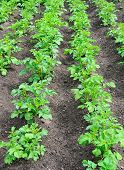 stock photo of potato-field  - Field with a young bushes of potatoes - JPG