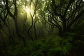 picture of canary  - Laurisilva forest in Anaga Tenerife Canary islands Spain - JPG
