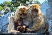 stock photo of gibraltar  - Two Barbary Apes holding their baby Gibraltar United Kingdom Western Europe - JPG