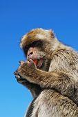 pic of ape  - Barbary Ape  - JPG
