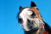 stock photo of bay horse  - Funny bay horse closeup on blue background - JPG