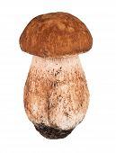 stock photo of porcini  - one porcini mushrooms - JPG