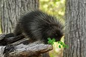picture of nocturnal animal  - Porcupette  - JPG