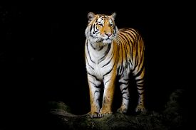 foto of tiger eye  - Closeup Bengal tiger animal wildlife on black color background - JPG