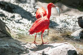 picture of scarlet ibis  - A scarlet ibis having caught a fish - JPG