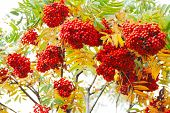 pic of rowan berry  - Red Rowan berries naturally hanging on autumn tree - JPG