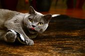 image of portrait british shorthair cat  - Portrait photo of a british blue cat playing with pillow - JPG