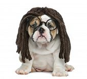 foto of dreadlock  - English bulldog puppy wearing a dreadlocks wig and glasses in front of white background - JPG