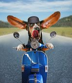 picture of basset hound  - a basset hound riding on a scooter with his ears flapping and his tongue licking his nose on a highway background - JPG