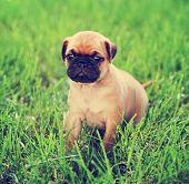 image of pug  - a cute chihuahua pug mix puppy  - JPG